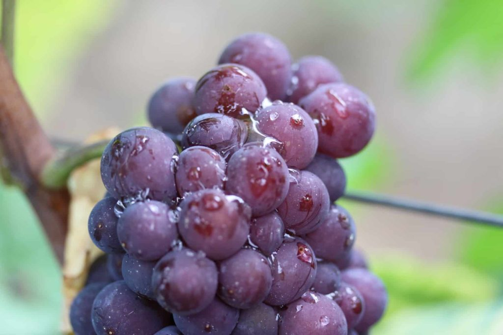 droplets on berries from a grape cluster