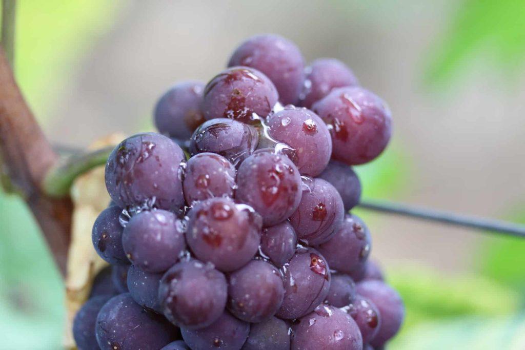 gouttelettes sur des baies d'une grappe de raisin