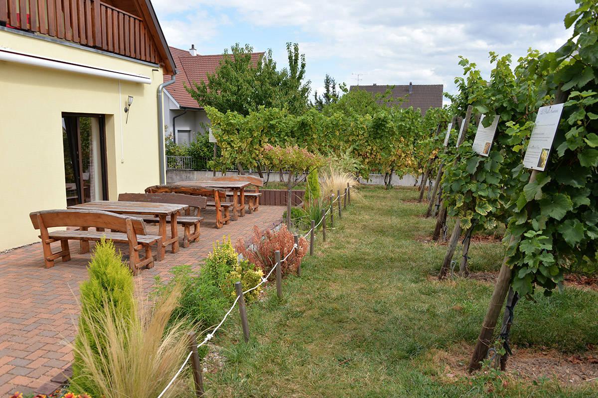jardin des vignes en Alsace au domaine Pierre Adam