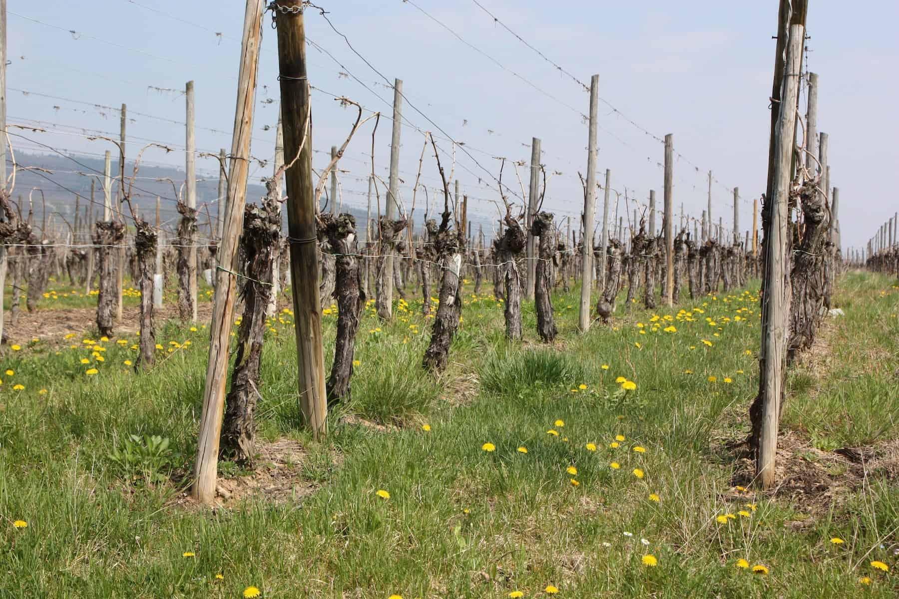 rangs de vignes au printemps